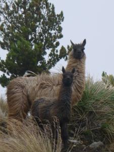 Les premiers lamas rencontrés!